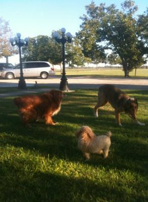 Perry playing with other dogs