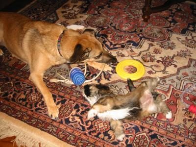 Smokey playing with Lucy, when Lucy was a pup