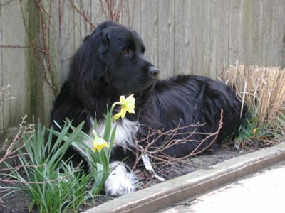 Gracie in the Daffodils